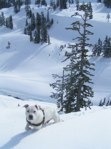 Sage plowing through the snow on Mt. Baker