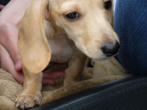 Mini dachshund puppy