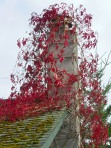 Virginia creeper on Orcas Island