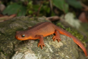 Rough-skinned newt on Orcas Island, photo by Bob Friel