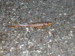 Newt crossing Channel Road in Deer Harbor, Orcas Island