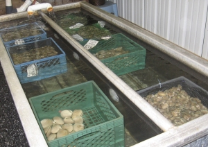 clams and oysters at Buck Bay Shellfish Farm