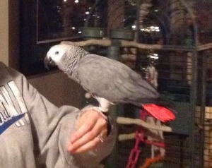 Charlie the Parrot on Orcas Island