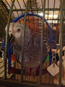 Charlie the African Grey Parrot on Orcas Island