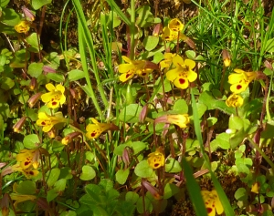 Chickweed Monkeyflower on Orcas Island