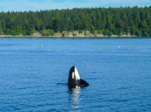 Orca whale spy hopping off Henry Island