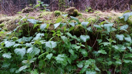 A fresh nettle patch growing on Orcas Island.