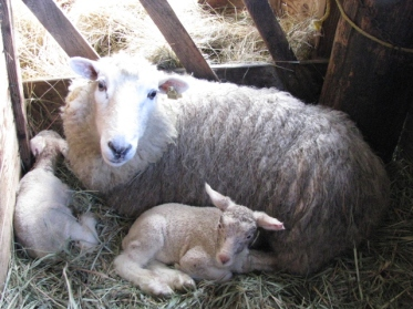 Brand new lambs and a proud mom