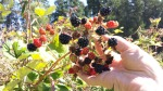 Orcas Island blackberries