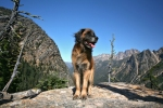 Murphy the leonberger in the Cascade Mountains