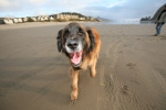 Murphy's excursion to dog-friendly Cannon Beach, Oregon