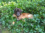 Murphy the leonberger in salal patch