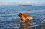 Murph first dip in Salish Sea