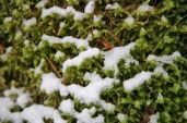 Moss thrives in snow!