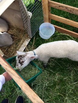 The lambs love hay...and daisies :)
